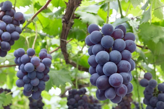 葡萄の生産地や種類について | 日本料理・すき焼き・しゃぶしゃぶ ...