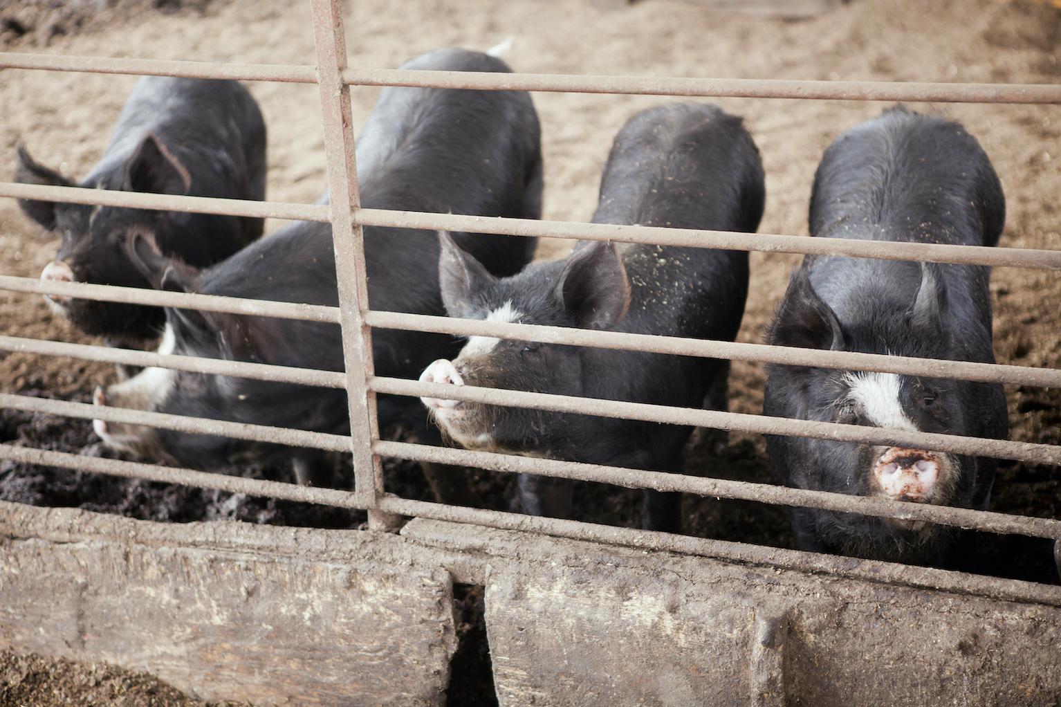 鹿児島黒豚について